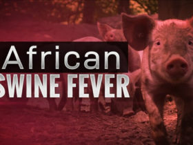 The Latest News on African Swine Fever